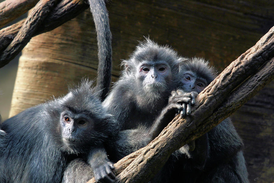 Monkey Trio Photograph