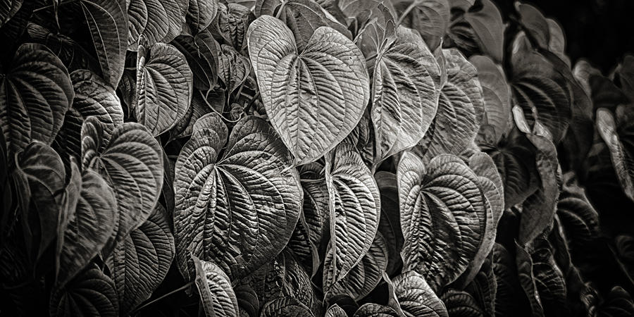 Monkey Vine Photograph  - Monkey Vine Fine Art Print