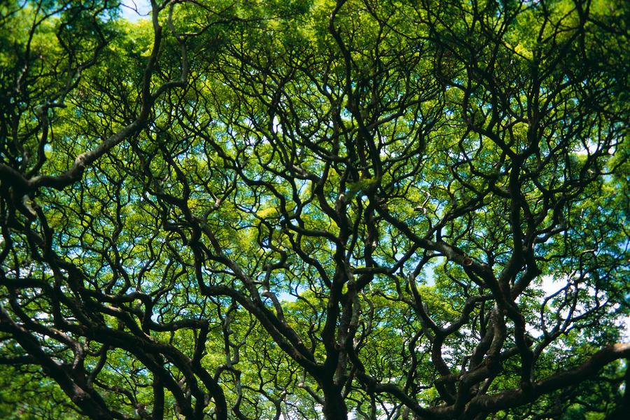Monkeypod Canopy Photograph