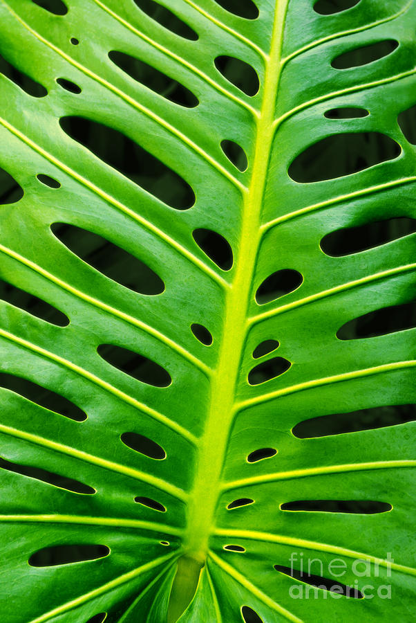 Monstera Leaf Photograph  - Monstera Leaf Fine Art Print