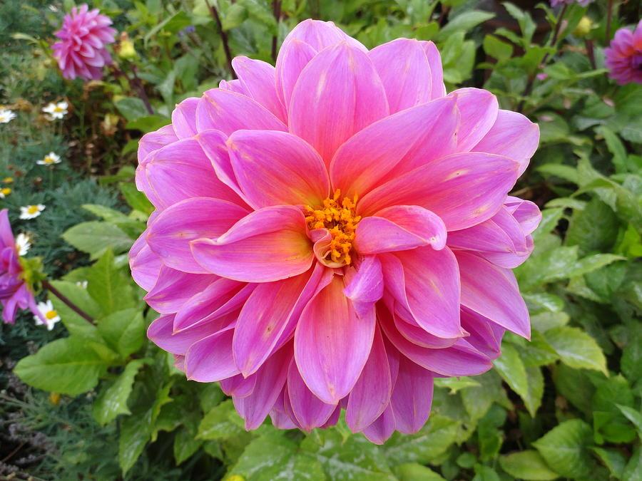 Dahlia Photograph - Monterey Pink by Robert Meyers-Lussier