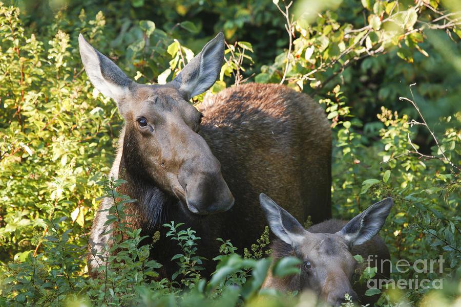 Moose - White Mountains New Hampshire  Photograph