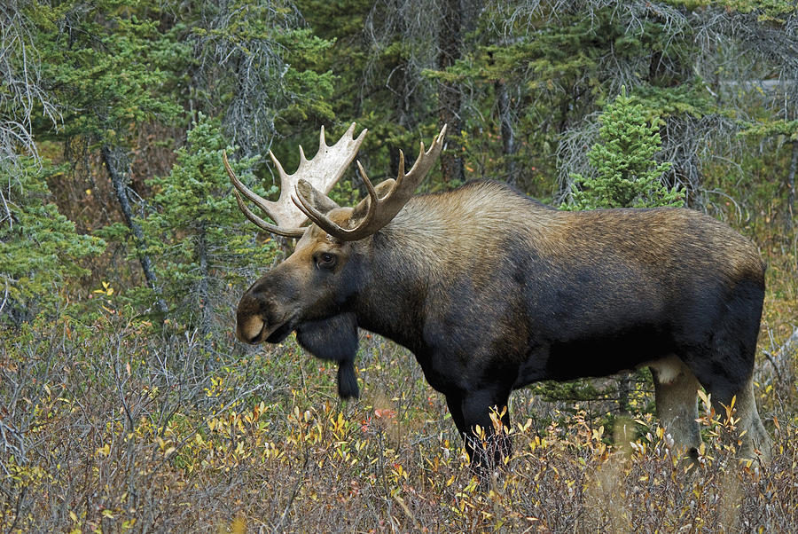 Alces Alces Moose Alces Alces In A Forest