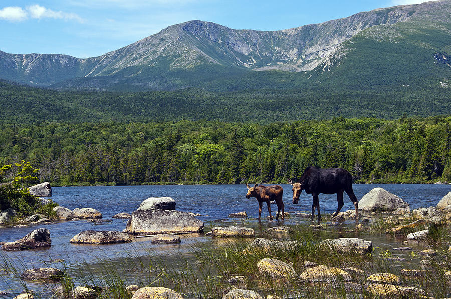 Moose Baxter State Park Maine 2 Photograph