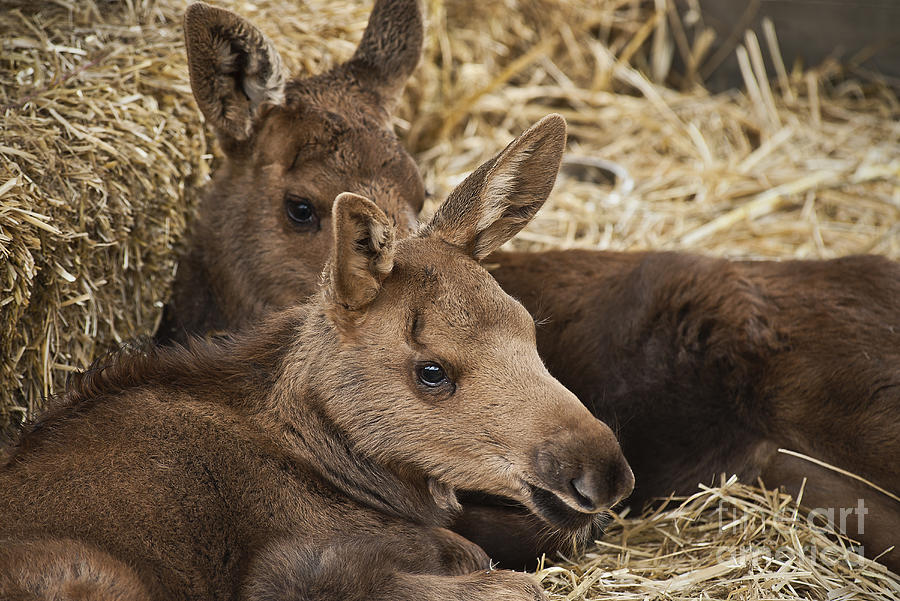 Moose Calves Photograph  - Moose Calves Fine Art Print