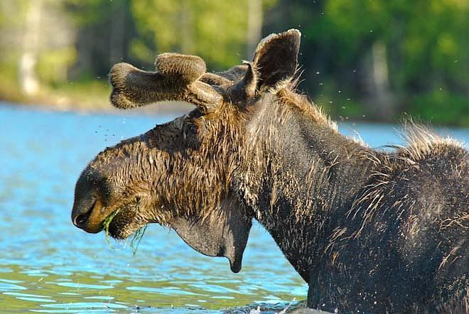 June Photograph - Moose Flies by Lyn Scott