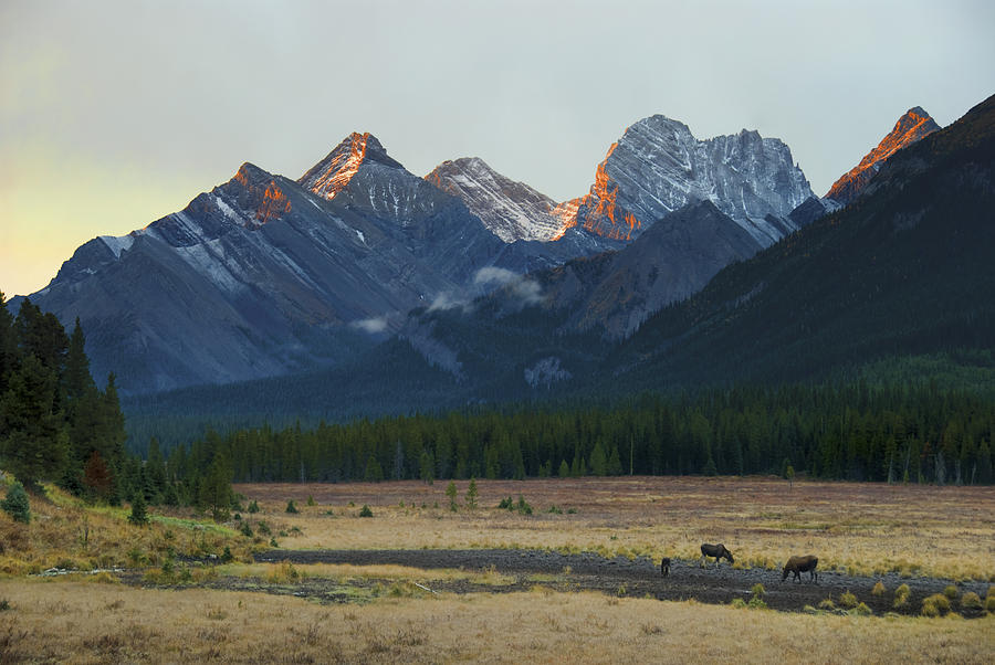 Moose Grazing At Sunset With Mountains Photograph
