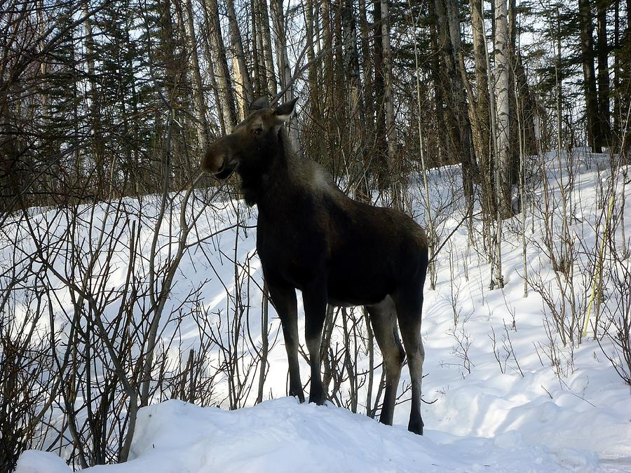 Moose In Winter Digital Art by Travis Abe-Thomas - Moose In Winter ...