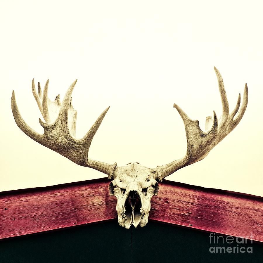 Moose Trophy Photograph  - Moose Trophy Fine Art Print