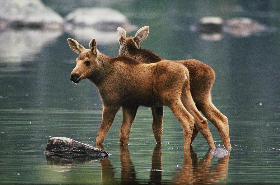 Alces Alces Moose Twins Alces Alces