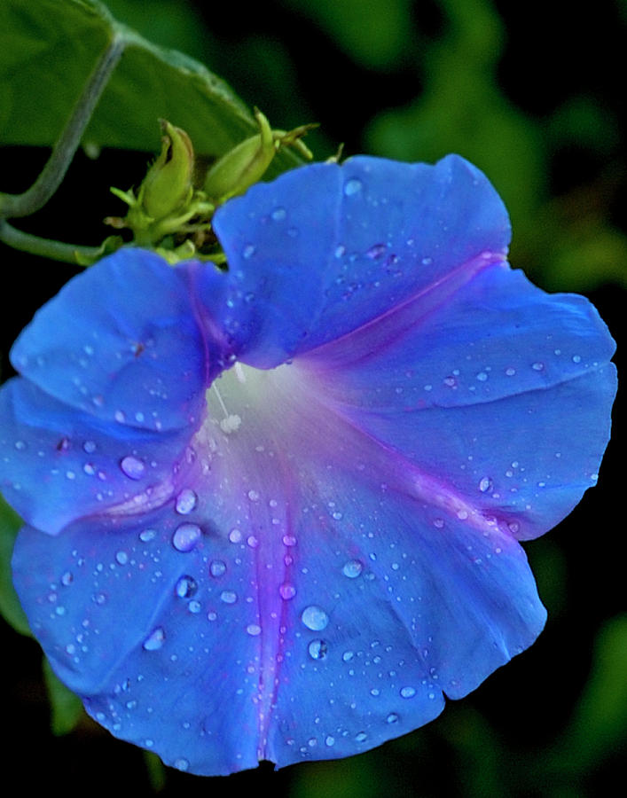 Morning Glory Dew Photograph  - Morning Glory Dew Fine Art Print