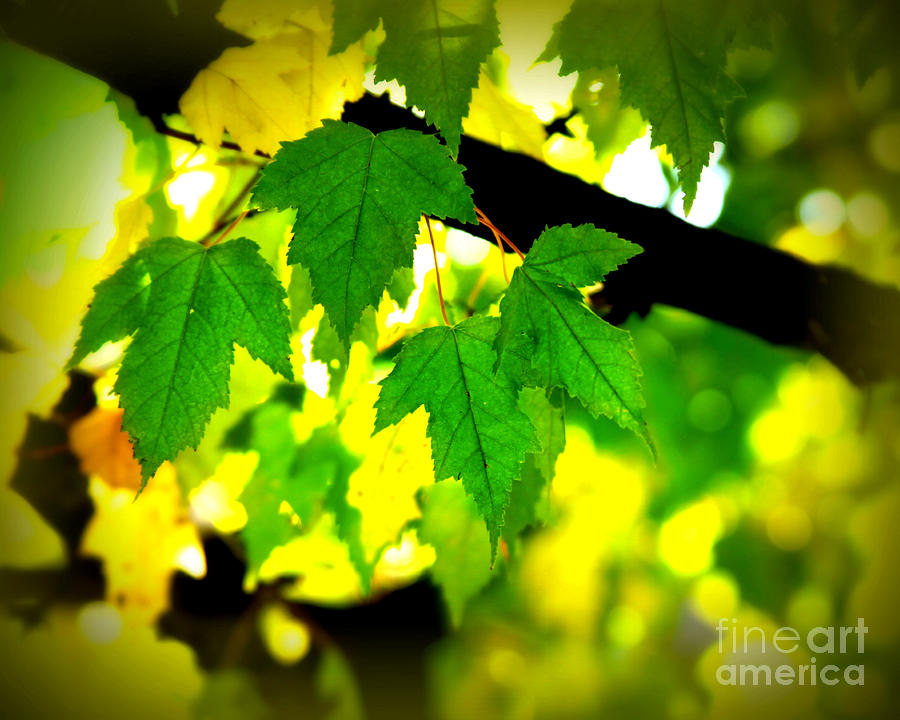 Leaf Photograph - Morning  Light by Perry Webster