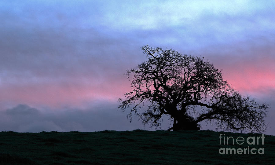 Morning Oak Photograph  - Morning Oak Fine Art Print