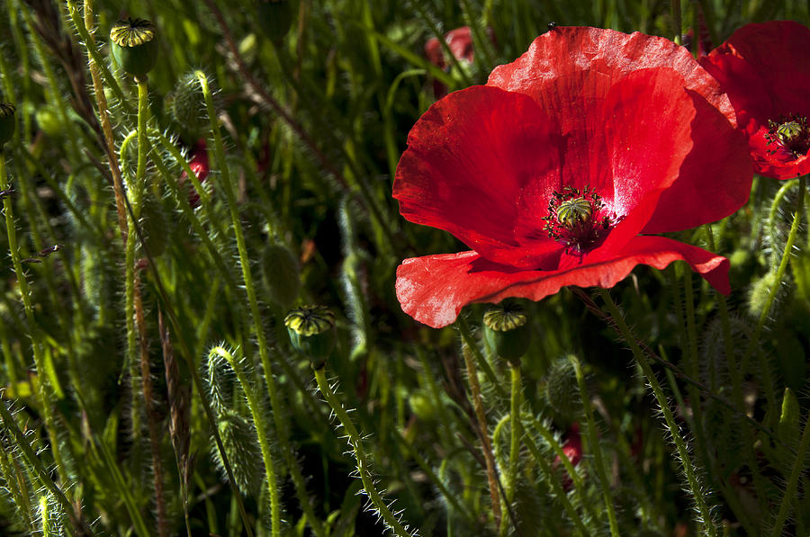 Morning Poppy Photograph