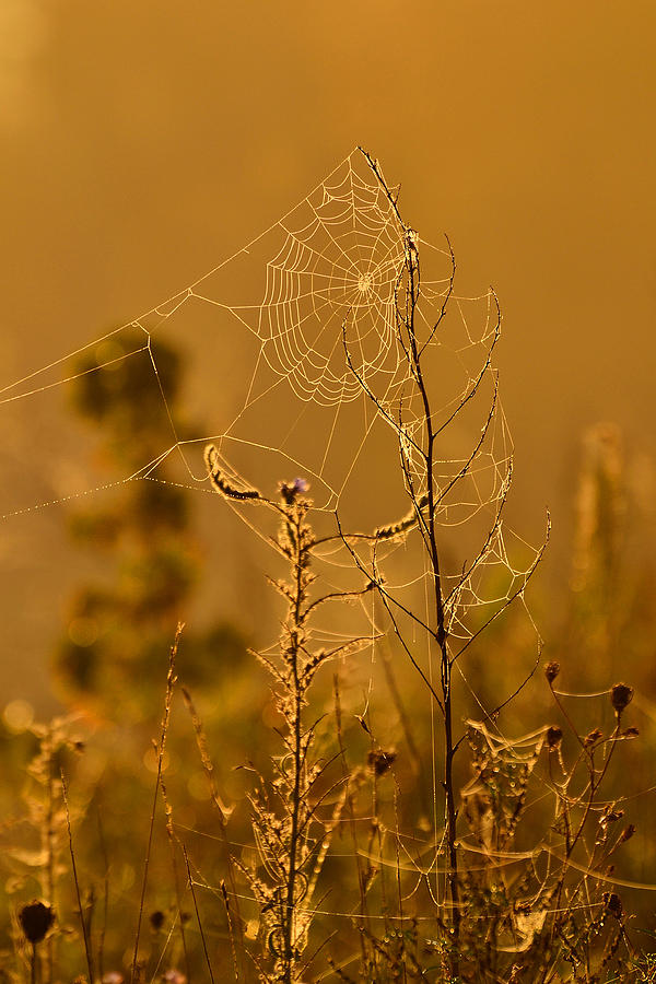 Morning Web Photograph  - Morning Web Fine Art Print
