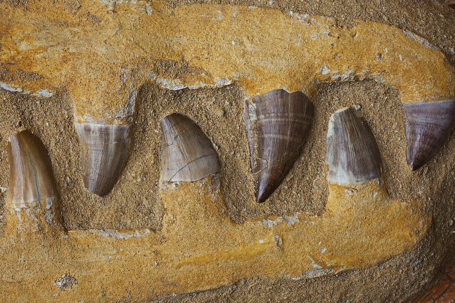 Mosasauras Teeth Photograph - Mosasauras Teeth by Garry Gay