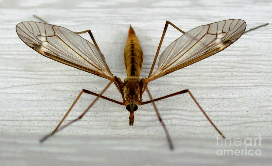 Mosquito Hawk Photograph