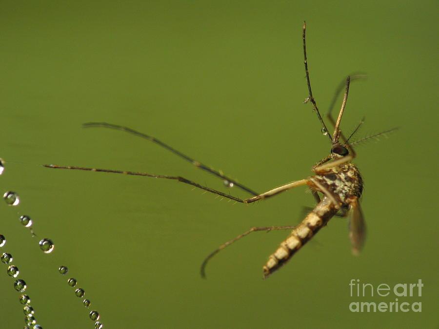 Mosquito Photograph