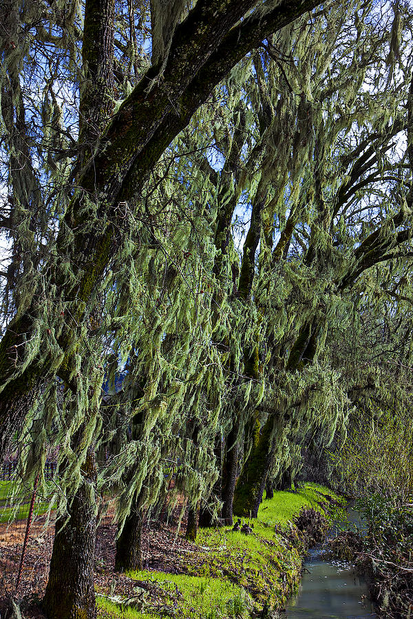 Moss Covered Trees Photograph  - Moss Covered Trees Fine Art Print