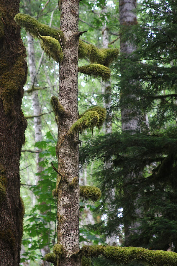 Moss-draped Trees On Tiger Mountain Wt Usa Photograph