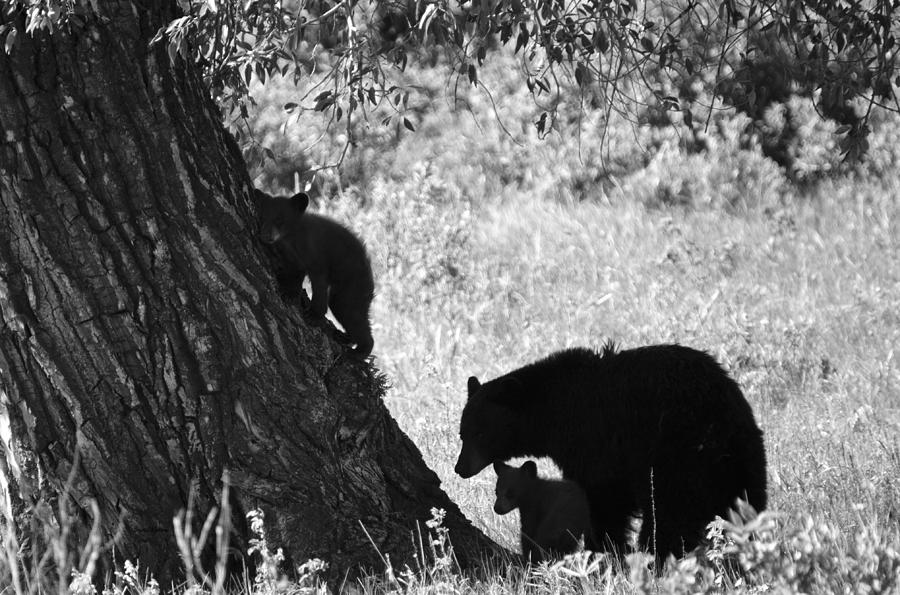 Mother Black Bear With Her Two Cubs Photograph  - Mother Black Bear With Her Two Cubs Fine Art Print