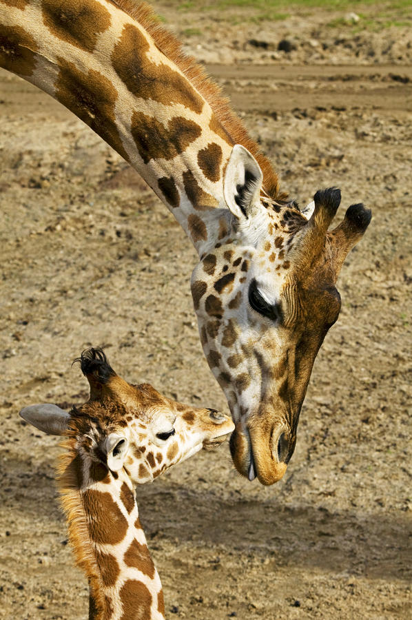 Mother Giraffe With Her Baby Photograph  - Mother Giraffe With Her Baby Fine Art Print