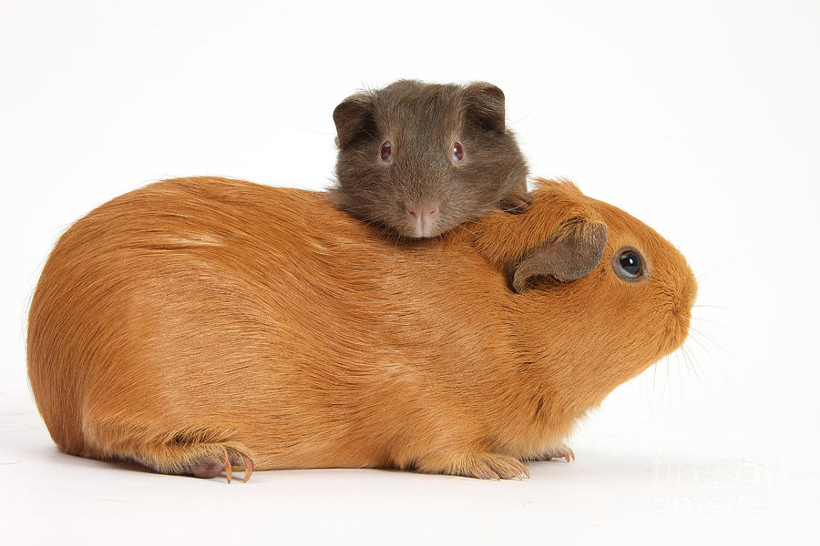 Mother Guinea Pig With Baby Guinea Pig Photograph