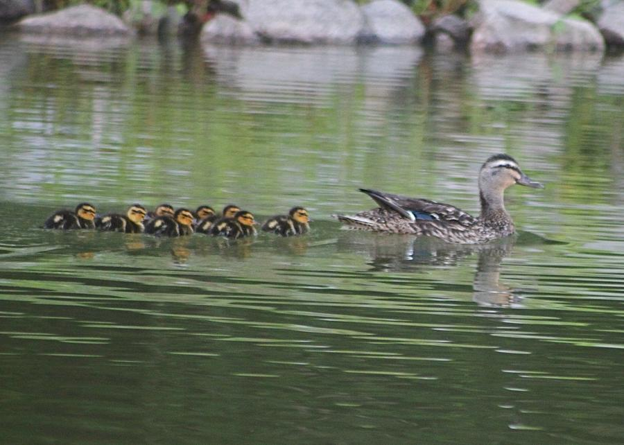 Female Mallard Photograph - Mother Mallard And Ducklings by Jeanne Kay Juhos