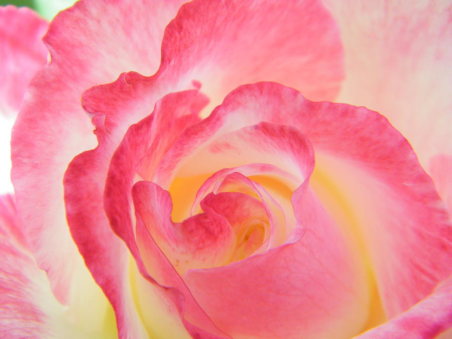 mother nature painted a rose photograph by mary sedivy. Black Bedroom Furniture Sets. Home Design Ideas
