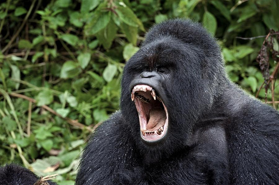 Mountain Gorilla Male Yawning Photograph by Tony Camacho