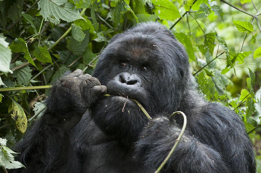 Mountain Gorilla Silverback Feeding Photograph By Suzi