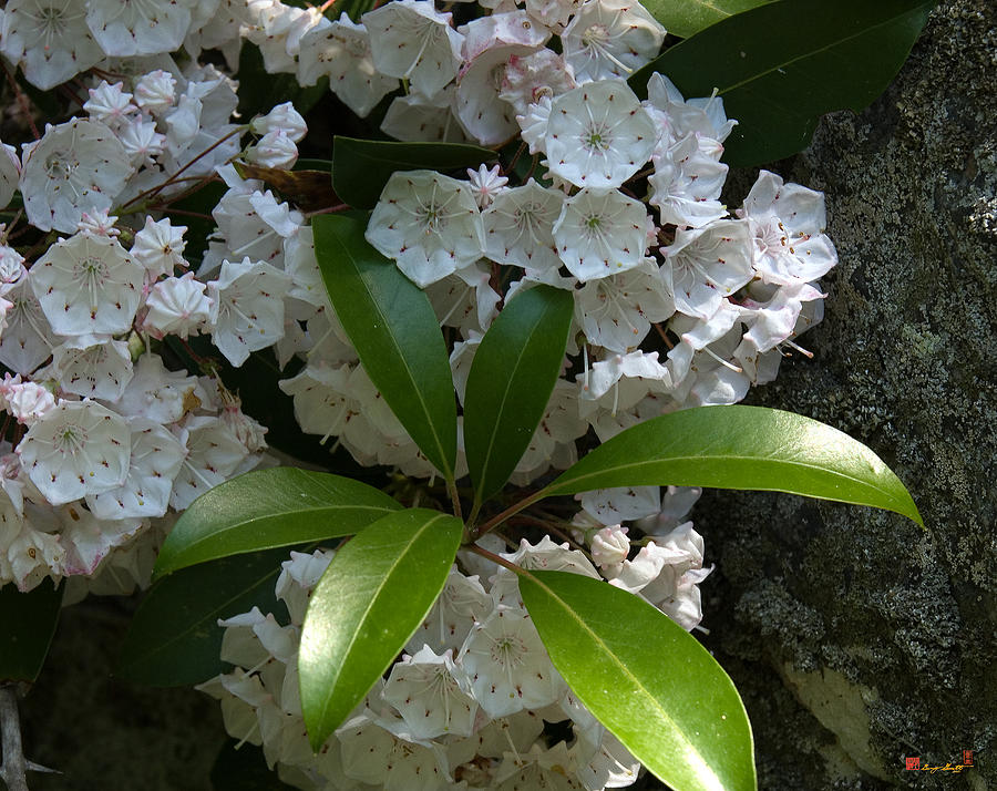Mountain Laurel Dsmf046 Photograph  - Mountain Laurel Dsmf046 Fine Art Print