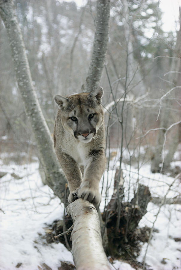Mountain Lion Felis Concolor Walks Photograph