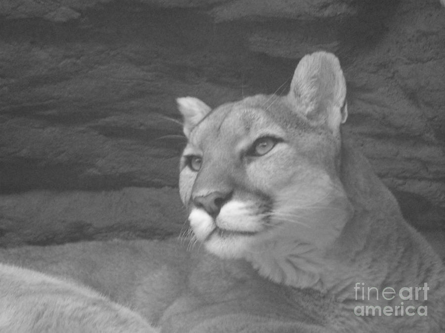 Mountain Lion In Black And White Photograph