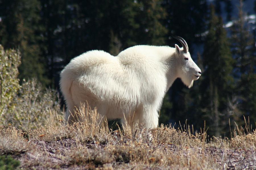 Mountain Goat Pyrography - Mountain Matriarch-2 by Bob Bahlmann