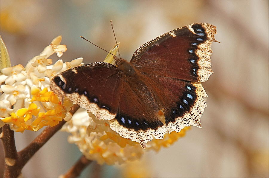 Mourning Cloak Butterfly Photograph  - Mourning Cloak Butterfly Fine Art Print