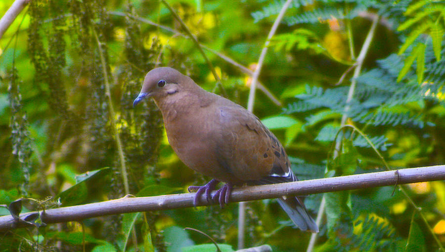 Dove Photograph - Mourning Dove Cooling Out by David Alexander