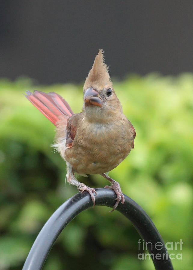 Cardinal Photograph - Mrs Cardinal by Carol Groenen