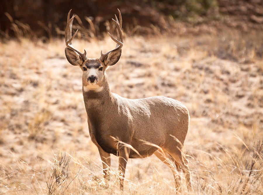 Mule Deer Buck Photograph