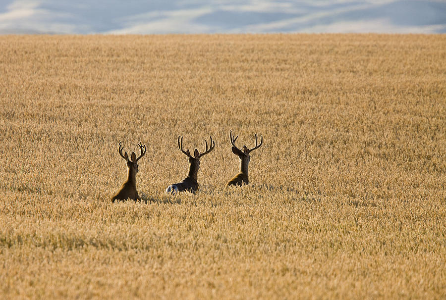 Mule Deer In Wheat Field Photograph