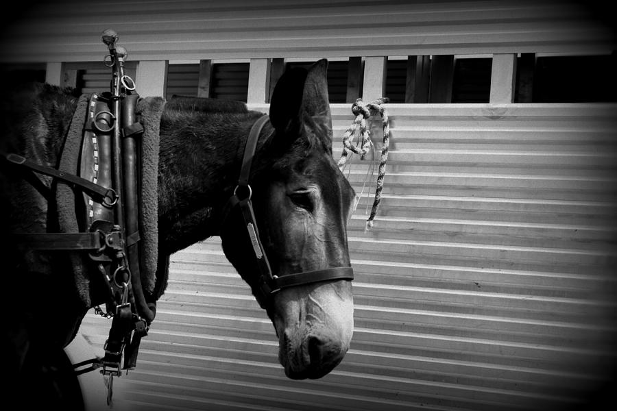 Mule - Tied Up For A While Photograph  - Mule - Tied Up For A While Fine Art Print
