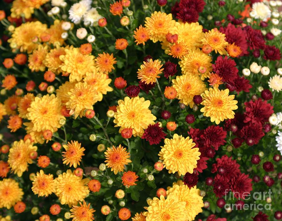 Multi Colored Mums Photograph  - Multi Colored Mums Fine Art Print