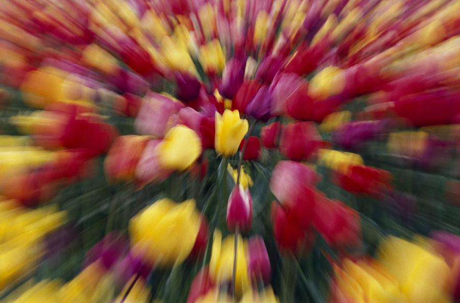 Multi colored tulip flowers zoom effect photograph by for Natural multi colored roses