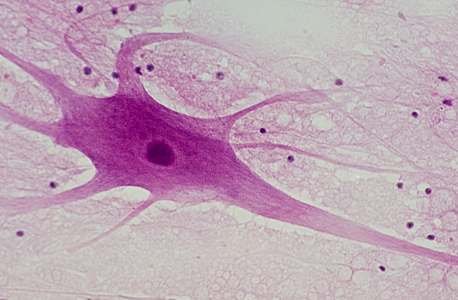 Image Gallery Neuron Histology