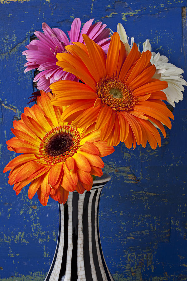 Mums In Striped Vase Photograph