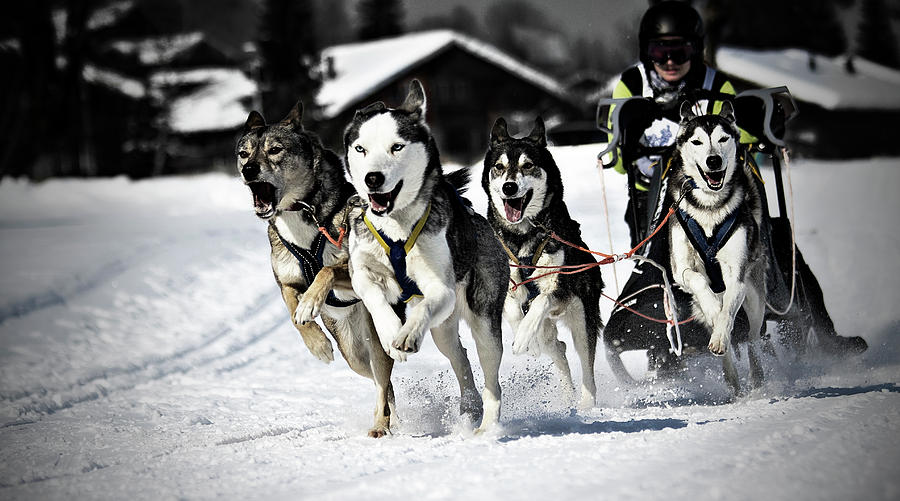 Mushing Photograph  - Mushing Fine Art Print