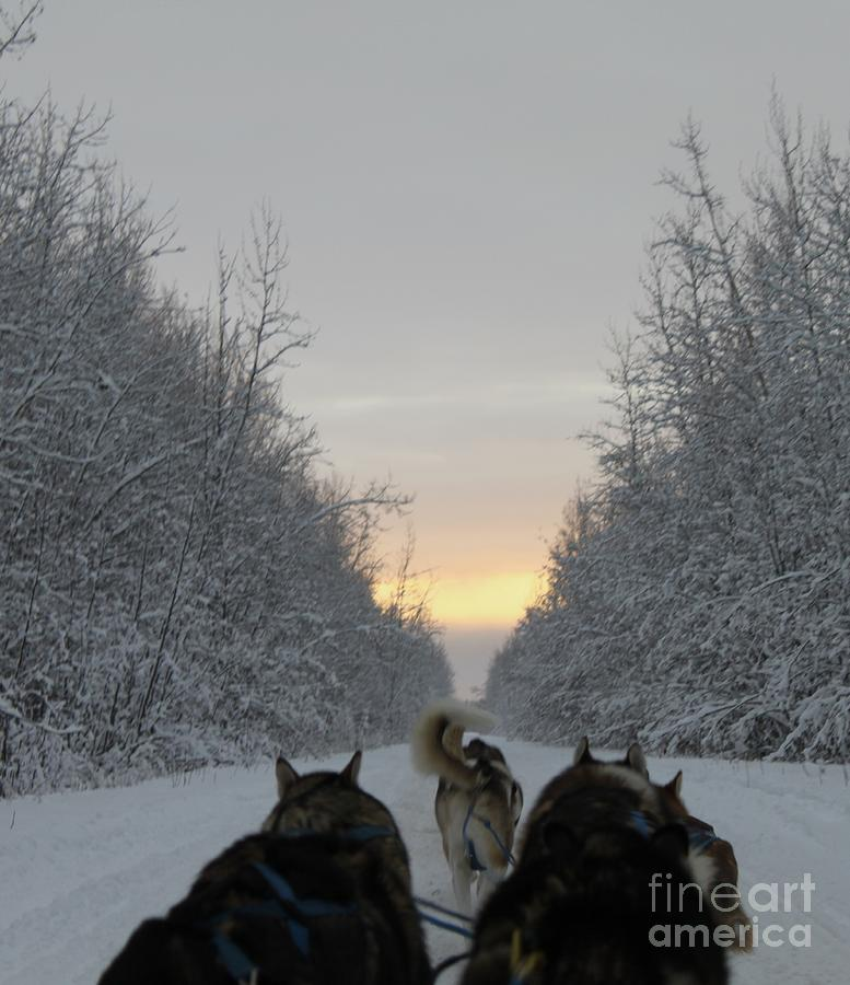 Mushing Into The Sunset Photograph  - Mushing Into The Sunset Fine Art Print