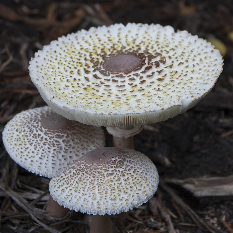 Mushroom Trio Squared Photograph