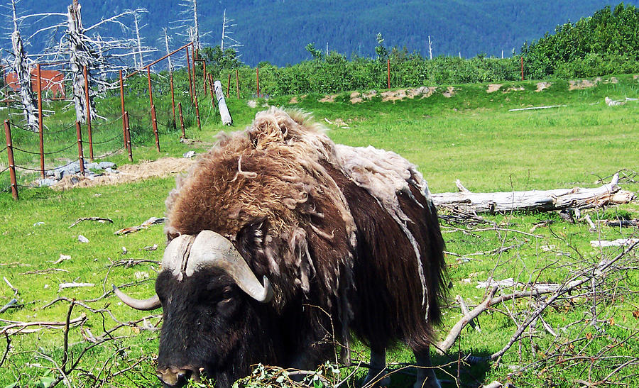 Musk Ox Photograph - Musk Oxen by Aimee L Maher Photography and Art Visit ALMGallerydotcom