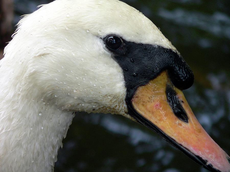 Mute Swan Close-up Photograph